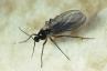 Сциаридни мухи
